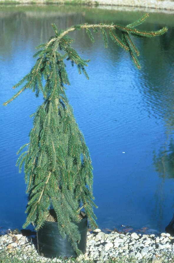 Plant photo of: Picea abies 'Pendula'