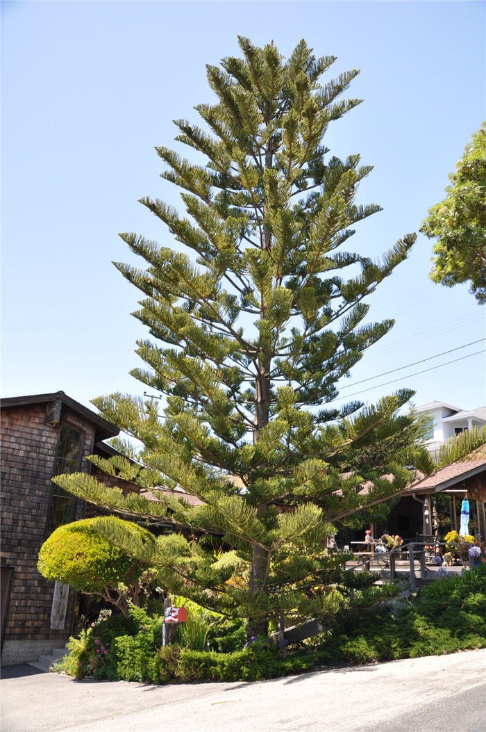 Plant photo of: Araucaria heterophylla