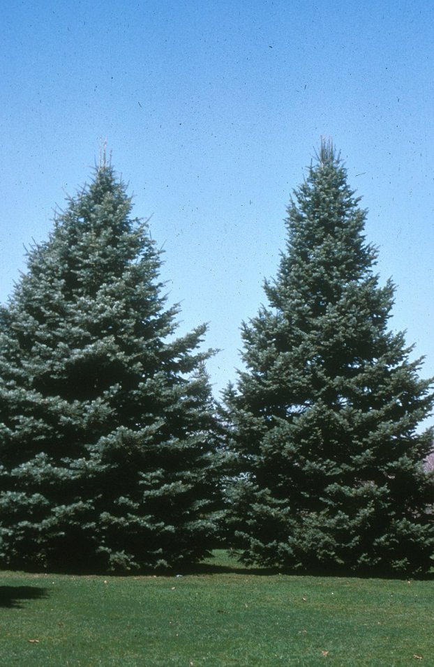 Plant photo of: Abies concolor