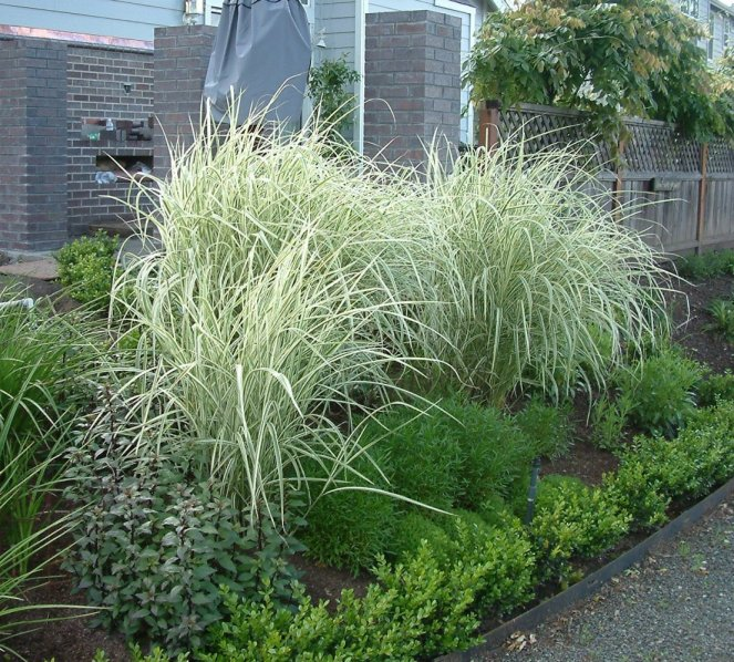 Plant photo of: Miscanthus sinensis 'Variegatus'