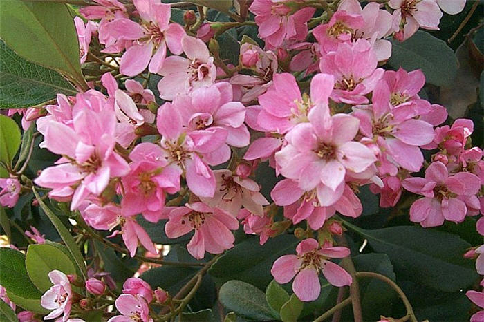 Plant photo of: Rhaphiolepis indica 'Pink Lady'