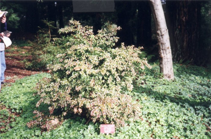 Plant photo of: Vaccinium ovatum