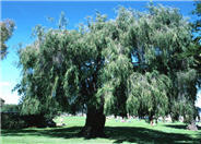 Peppermint Tree, Willow Myrtle