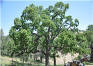 Valley Oak, White Oak, Roble