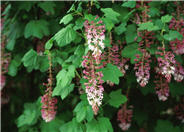 Southern Pink Flowering Currant