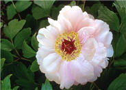 Paeonia 'Goddess of Mt. E Mei