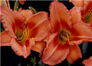 Lee Bea Orange Crush Hybrid Daylily
