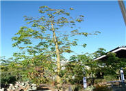 Ceiba speciosa 'Majestic Beauty