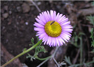 Blue Beach Aster, Seaside Daisy