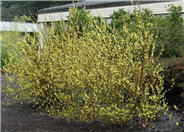 Gold Forsythia