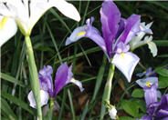 Dutch Iris or Spanish Iris
