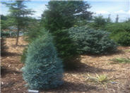 Juniperus scopulorum 'Gray Gleam'