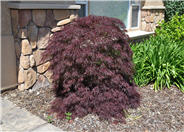 Purple Japanese Maple