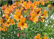 Alstroemeria hybrids Orange
