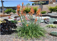 Kniphofia thompsonii