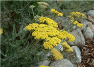 Yarrow Moonshine