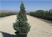 Blue Point Columnar Juniper